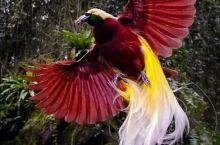 天堂鸟-------被称为神鸟,见者有福。 极乐鸟又名天堂鸟,生活在人迹罕至的高山丛林中。人们只是看