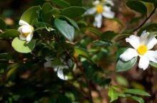 广西千亩油茶花开啦,满山满地的花瓣,比下雪还漂亮!
