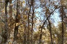 高高的胡杨林下徜徉,新疆巴楚夏马勒林场很美。