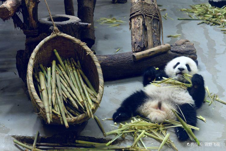 청두 판다 번식연구기지3