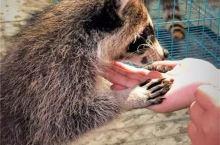 每日一咖-有动物的咖啡店是越来越火,这不来了只超萌的小浣熊~