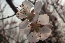八家公园的桃花