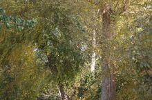 村口的杨树,充满秋意