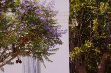 花心的蓝花楹原本来自南美 恰是盛开的季节