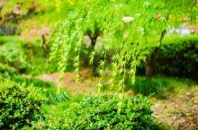 红枫绿叶紫藤 春日里的雨中五泄