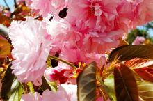 铁山公园樱花