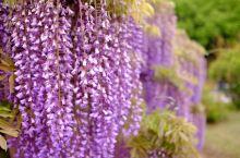 如梦似幻的紫色物语,看藤花仙境就去这些地方