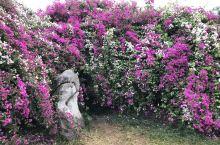 攀枝花三角梅公园,漫山遍野的热情与浪漫