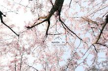 """美爆了!宁波市区这座以""""樱花""""命名的公园,带着""""十里樱花林""""惊艳宁波!"""