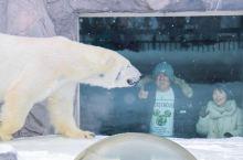 在冬季的动物园里,看暖暖的大白熊游泳