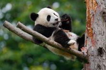 成都必去之地——成都熊猫基地一日游攻略