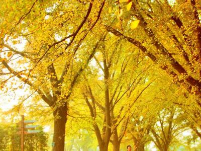 Ancient Ginkgo Forest Park