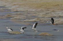 班公湖每年9/10月,候鸟聚集