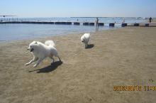 二只萨摩耶和爸爸养母熊孩子撒花在乐亭海边
