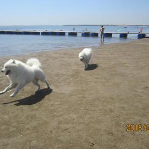 乐亭游记图文-二只萨摩耶和爸爸养母熊孩子撒花在乐亭海边
