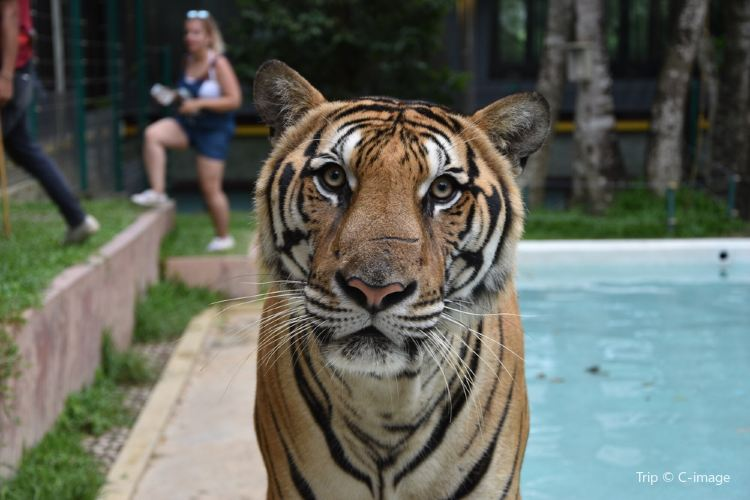 Tiger Kingdom Phuket3