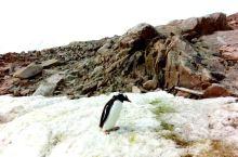 南极半岛的企鹅有十多种,帝企鹅,金图企鹅,帽带企鹅