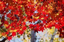 """赏红叶何必等到11月,赶紧去日本这些地方""""品红""""!"""