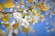 三月雪连夜,未应伤物华。只缘春欲尽,留著伴梨花。