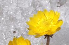 美丽的冰凌花