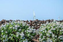 又到一年绣球花开时节,快来济州岛看花海吧!