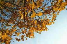 99%非桂林人不知道的超美银杏密林 绝大部分外地人游玩桂林都只会去漓江+阳朔+两江四湖+龙胜梯田,这