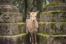 奈良的小鹿