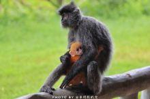 马来西亚拉卜湾长鼻猴庇护中心