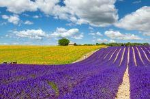 法国普罗旺斯薰衣草花期,阿维尼翁/尼斯看薰衣草攻略
