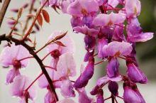 德天老木棉,界河边的世外桃源---春游老木棉(1)