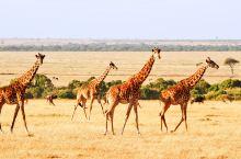 【Hi Trip】看这一篇就够了!行摄东非之肯尼亚+坦桑尼亚,动物大迁徙最全攻略
