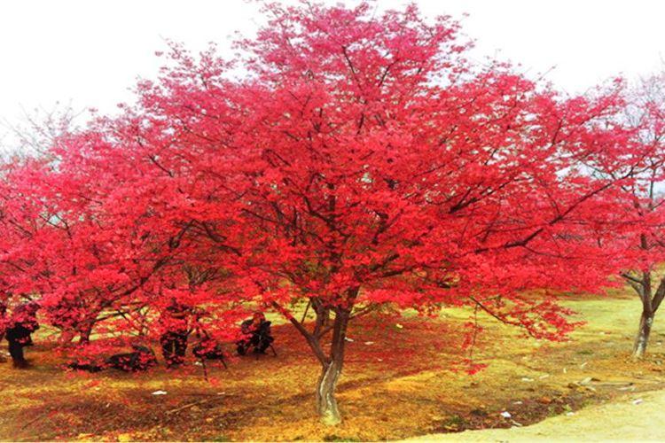 Guiyang Cherry Garden