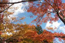 深秋---枫叶正浓