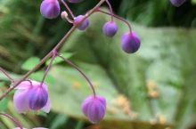 澳大利亚塔斯马尼亚植物篇