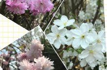 满树烂漫、阳光透照、阵阵清香、滨海花园的SAKURA…