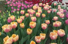 玲珑公园的郁金香 玲珑公园在北京的西部,有著名的大慈恩寺塔,我昨天去的时候,正是郁金香开放的季节,因