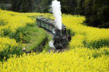 嘉阳小火车赏花指南 l 呜呜...坐着蒸汽小火车,穿行在油菜花田中
