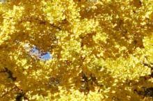北京戒台寺的银杏 北京的秋天是一个家里冷的季节,无法忍受的寒冷,可是在北京的西山到处都是秋天美丽的风