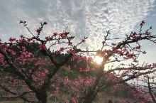 连平上坪赏桃花