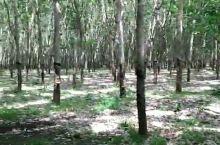 柬埔寨金边万亩乳胶林