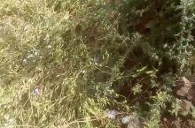 白色油菜花