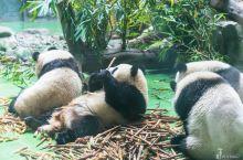 #世界遗产#四川大熊猫栖息地