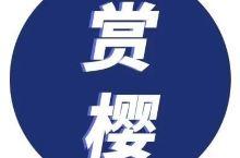 不用出国!广州附近一大波樱花开了!五大赏樱胜地足足开满3个月…