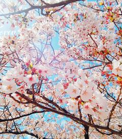 [釜山游记图片] 【已出版】春季限定,韩国镇海樱花季(含诚意Tips)