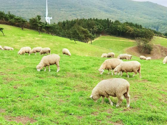 Daegwallyeong Pure Sheep Ranch
