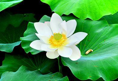 Hoesan White Lotus Habitat