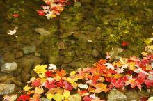 多伦多爱德华公园,枫叶落水,霜越打,叶越红