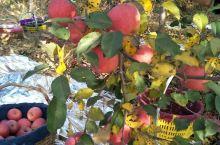 黄土高原的果园