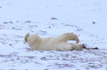 赖床的北极熊