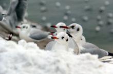 白雪皑皑海鸥飞翔。